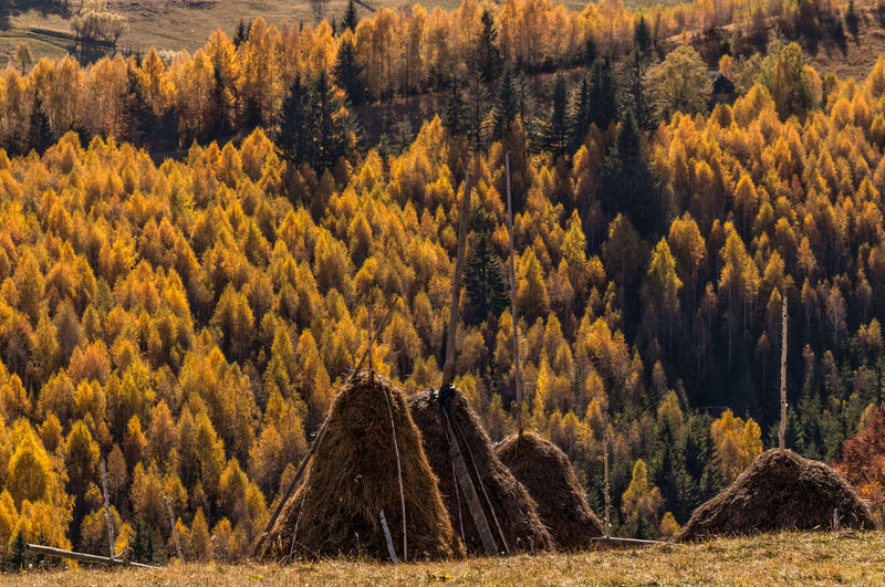 View of pine trees in forest during autumn