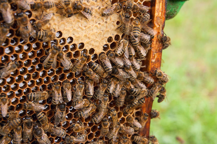 Animal Animal Themes Animal Wildlife Animals In The Wild APIculture Beauty In Nature Bee Beehive Brown Close-up Focus On Foreground Group Of Animals Honey Bee Honeycomb Insect Invertebrate Large Group Of Animals Natural Pattern Nature No People