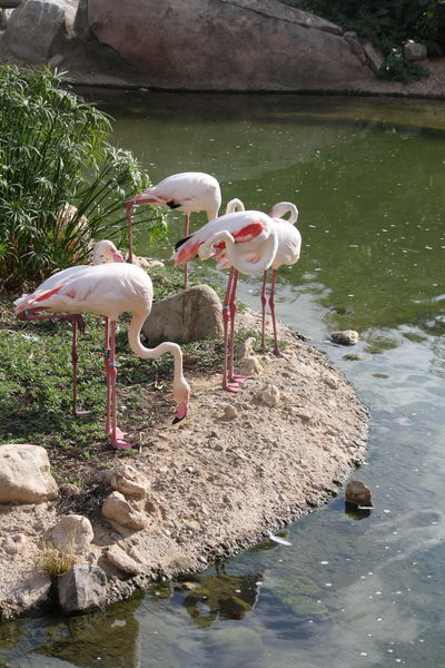 Al-Ain ♥ ` Desert Life Dubai Animal Themes Animal Wildlife Animals In The Wild Beauty In Nature Bird Day Flamingo Full Length Lake Nature No People Outdoors Perching Reflection Rock - Object Togetherness Water