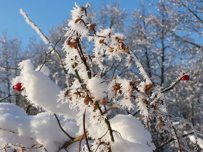 Close-up of snow covered rose hip plant