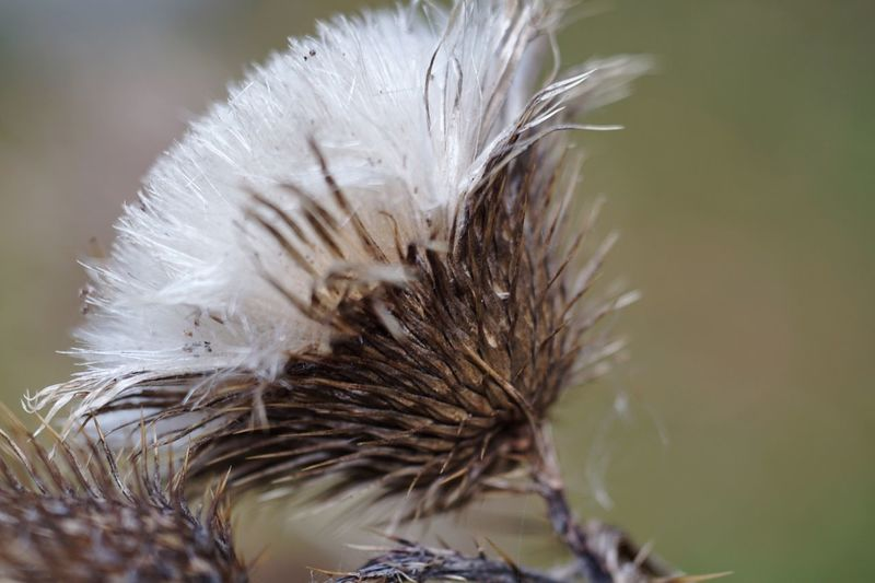 Faded Thistle Gone To Seed Close-up Selective Focus Softness Nature Bull Thistle Beauty In Nature Outdoors Wildflower