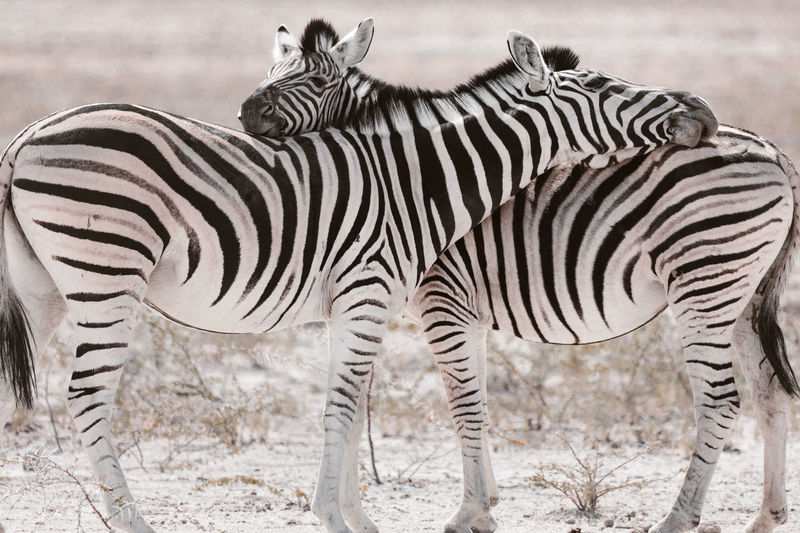 Zebras standing face to face in national park