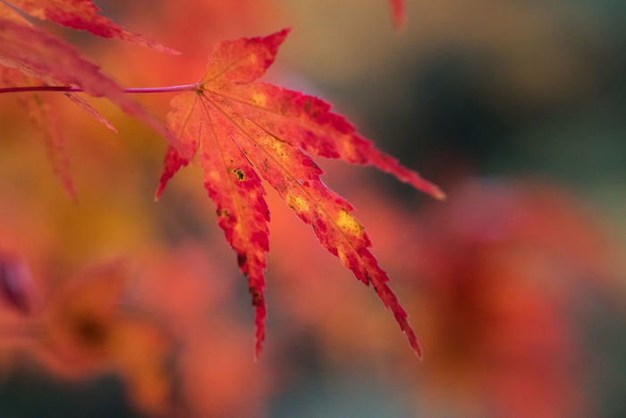 A fiery orange single maple leaf is the symbol of autumn (fall) in Japan. Autumn Autumn Colors Beauty In Nature Change Close-up Fall Fall Beauty Fall Colors Japanese  Leaf Maple Maple Leaf Nature Red Tree