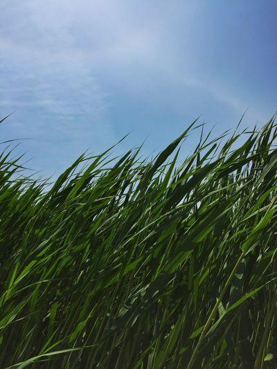 Reed Blue Sky Green Leaves Summer Iphone6 Growing Long Leaves