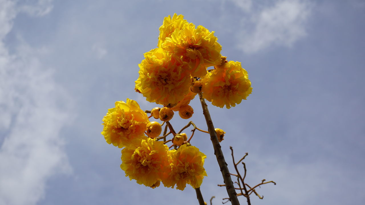 flower, yellow, fragility, nature, beauty in nature, freshness, growth, petal, outdoors, low angle view, day, flower head, no people, plant, close-up, blooming, sky