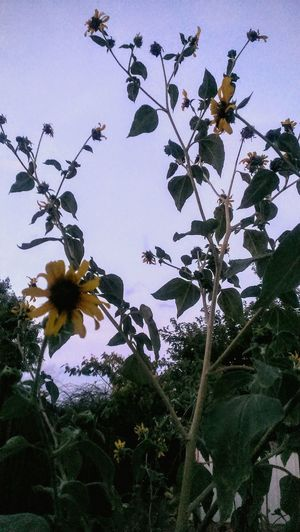 Sunflower. Hello World Taking Photos Check This Out Flowers Nature Awesome Blossom Andrography Desert Beauty Frommygarden