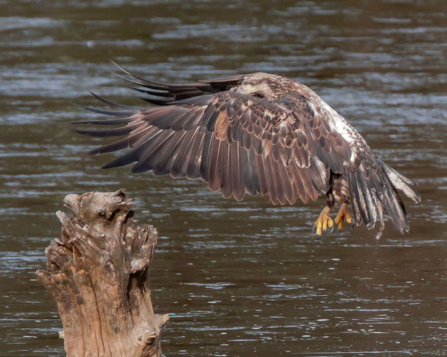Full Length Of Eagle Perching On Wooden Post In Lake