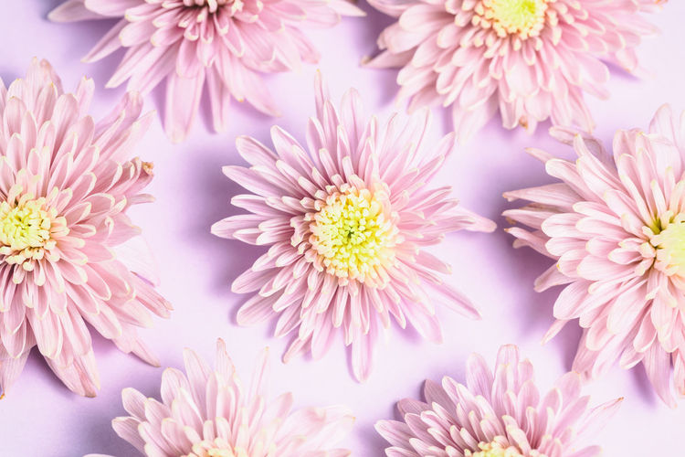 Pink chrysanthemums arrangement on pink background. Flat lay, top view. Floral background. Pink Floral; Pink; Lay; Spring; Flat; Flower; Romantic; Pattern; Concept; Background; Nature; Top; View; Summer; Pastel; Blossom; Petal Flower Flower Arrangement Flower Head Flowering Plant Fragility Freshness Full Frame Growth No People Petal Pink Color Plant