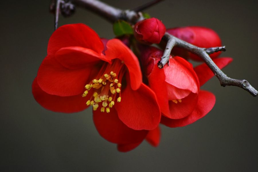 chaenomeles Flower Red Close-up Freshness Petal Flower Head No People Beauty In Nature Fragility Nature Day Closeup In Nature Closeupphotography Outdoors Chaenomeles Chaenomelesjaponica