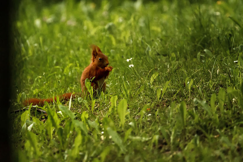 Plant Animal Themes Animal One Animal Mammal Selective Focus Green Color Land Grass Field Nature Animal Wildlife Animals In The Wild Growth No People Vertebrate Day Outdoors Rodent Beauty In Nature Squirrel