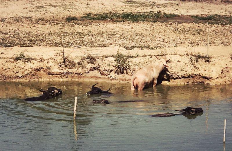 Buffalos Animal