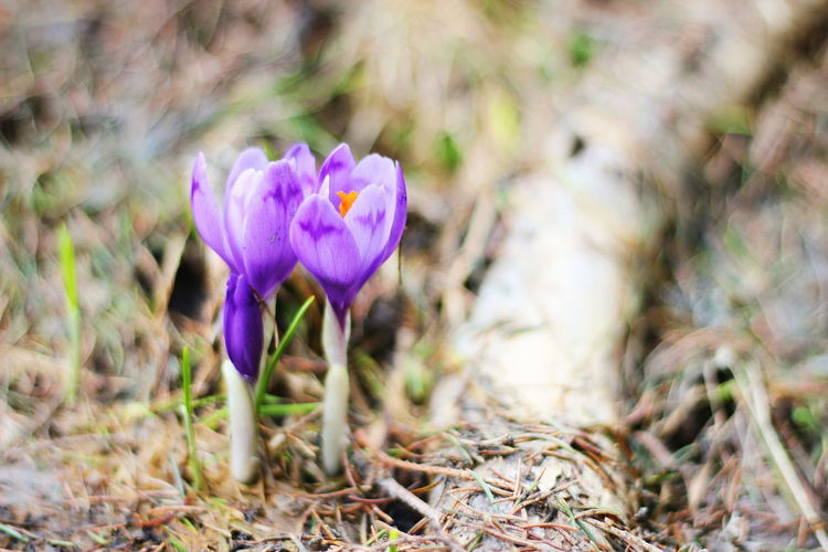 Flower Petal Nature Fragility Flower Head Growth Beauty In Nature Plant Freshness Day Botany Outdoors Purple Springtime Blossom Close-up No People Crocus Blooming CarpathianMountains Dragobrat,Ukraine Dragobrat Carpathian Nature EyeEm EyeEm Gallery Visual Feast The Great Outdoors - 2017 EyeEm Awards
