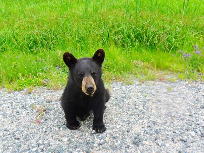 Bearcub Hanging Out Taking Photos Hello World Northernlife Canada Highway655 Cutebutdangerous Hungry Nomommy
