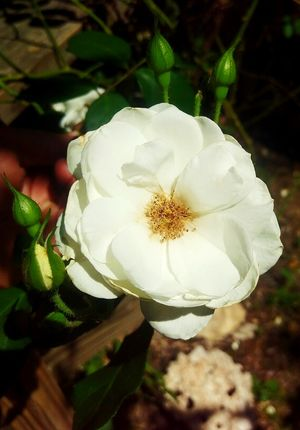 Beauty In Nature White Flowers And Buds