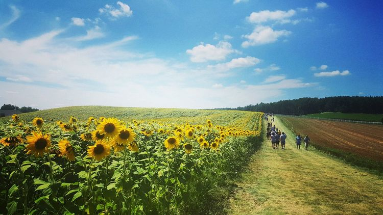 Sunflowers🌻 Sunflower Field Naturelovers Nature Nature Photography Nature_collection Beauty In Nature Farms Farmscape Blue Sky A Little Piece Of Heaven Flowers