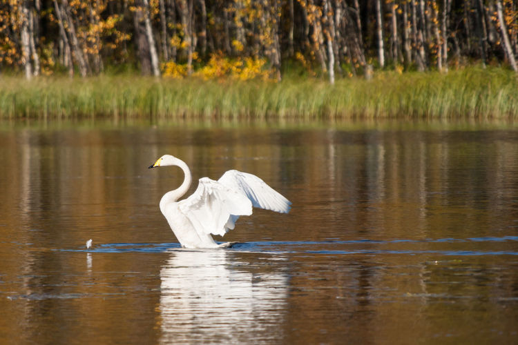 Autumn Beauty In Nature Cygnus Cygnus Feather  Lake Lapland, Finland Nature No People Reflection Water Water Bird