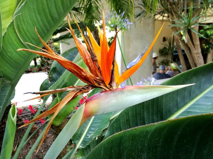 Strelitzia Strelitzia Reginae Strelitziaceae Strelizua, Bird Of Paradise, Flowers Flowers, Nature And Beauty Flower Collection Tropical Plants Flower Leaf Bird Of Paradise - Plant Close-up Plant Blooming In Bloom Plant Life Flower Head