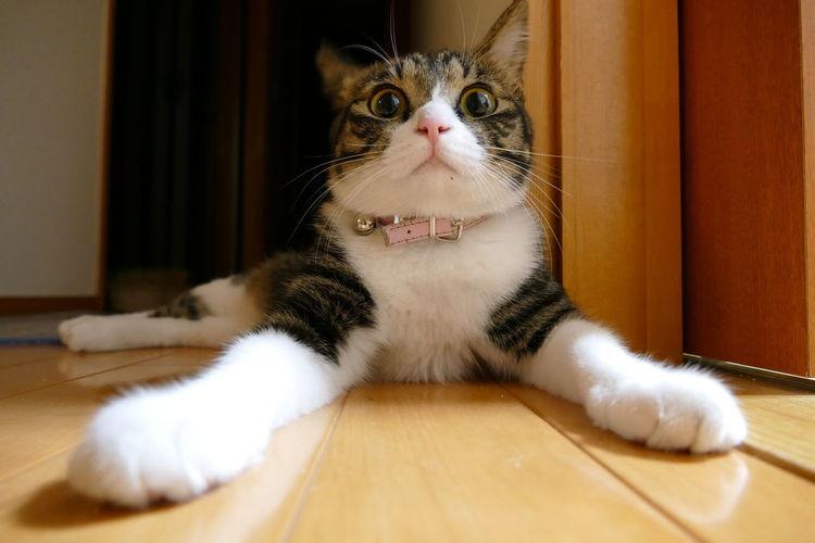 Close-up of domestic cat looking at camera