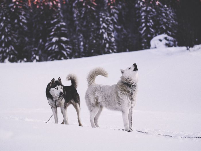 Husky dogs on snow covered landscape