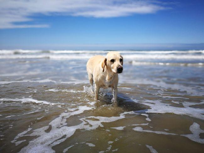 EyeEm Selects Dog Animal Beach Wet Sea Wave No People Pets Water Sky Beach Dog Soulac, France Sunny Day Labrador Dog Photography Labrador Retriever Retriever Lotte Summer Cute Beachtime Beach Waves Beach Babe