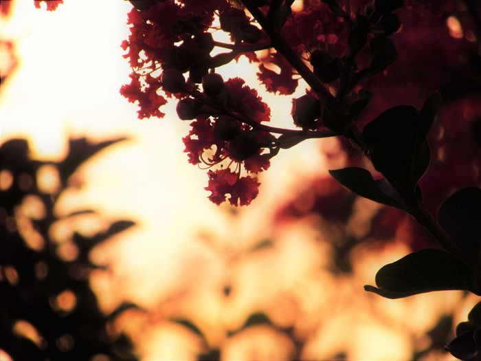 No People Outdoors Growth Nature Plant Lagerstroemia Crape-myrtle Sunlight Leaves Flower Branch Leaf Close-up Tree Sunset