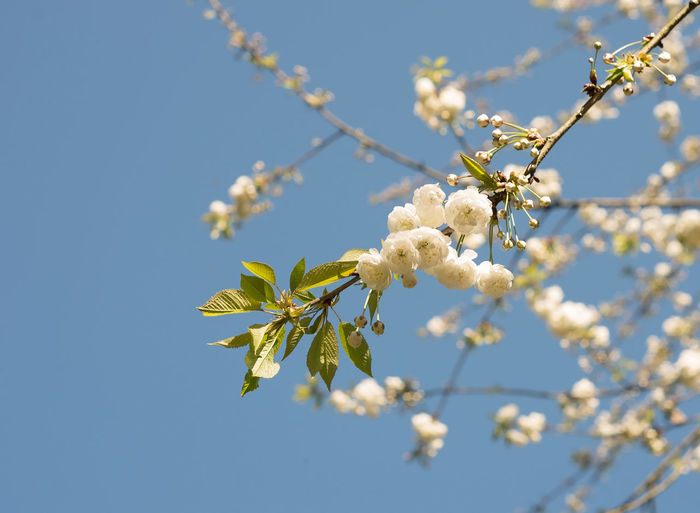 Low angle view of white flowers on branch