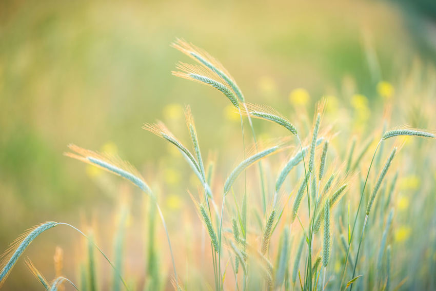 wheat Agriculture Beauty In Nature Close-up Day Farm Field Focus On Foreground Green Color Growth Land Landscape Nature No People Nobody Outdoors Plant Rural Scene Selective Focus Tranquility Wheat
