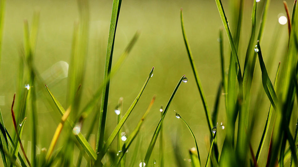Beauty In Nature Blade Of Grass Close-up Dew Drop EyeEm Gallery EyeEm Macro EyeEm Masterclass EyeEmBestPics Field Focus On Foreground Freshness Full Frame Grass Green Green Color Growth Hello World Macro Photography Motus Natura Nature Selective Focus Tranquility Color Palette
