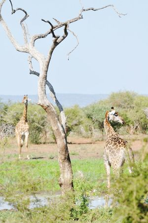 Let's make friends. Animal Wildlife Animals In The Wild Animal Giraffe Nature Safari Animals One Animal Day Grass Travel Destinations Outdoors Mammal Animal Themes Landscape Clear Sky Beauty In Nature No People Tree The Week On Eyem Newest Talent Best Photos