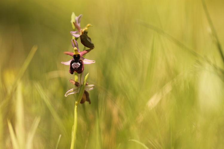 orchidea di