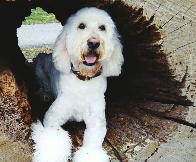 Close-up portrait of goldendoodle amidst tree hole