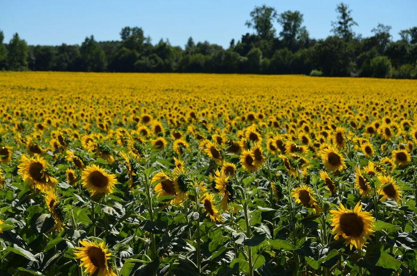 Ces images ont été prises le 7 août 2016 dans le département des Deux-Sèvres en France. Champ Field Fleur Flower Sunflower Tournesol Colour Of Life