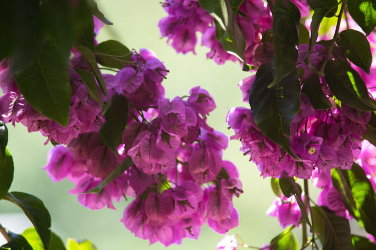 Flowering Plant Flower Plant Growth Beauty In Nature Freshness Vulnerability  Fragility Pink Color Close-up Petal Blossom Day Nature No People Inflorescence Flower Head Plant Part Leaf Botany Outdoors Purple Springtime Lilac Bunch Of Flowers