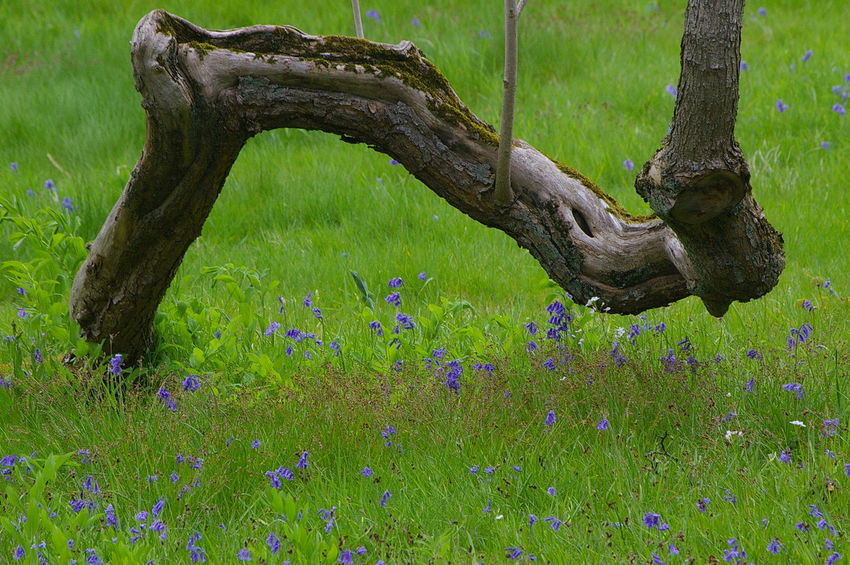 Old Tree Blue Flowers Grass Green Color Growth Nature No People Tree Trunk