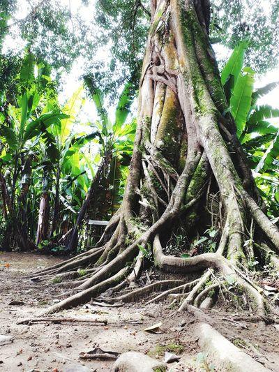 raíces Taking Photos Takingnature #loveamazonia Green Free Greenery Dead Tree Flora Woods Fallen Tree Foliage Vegetation