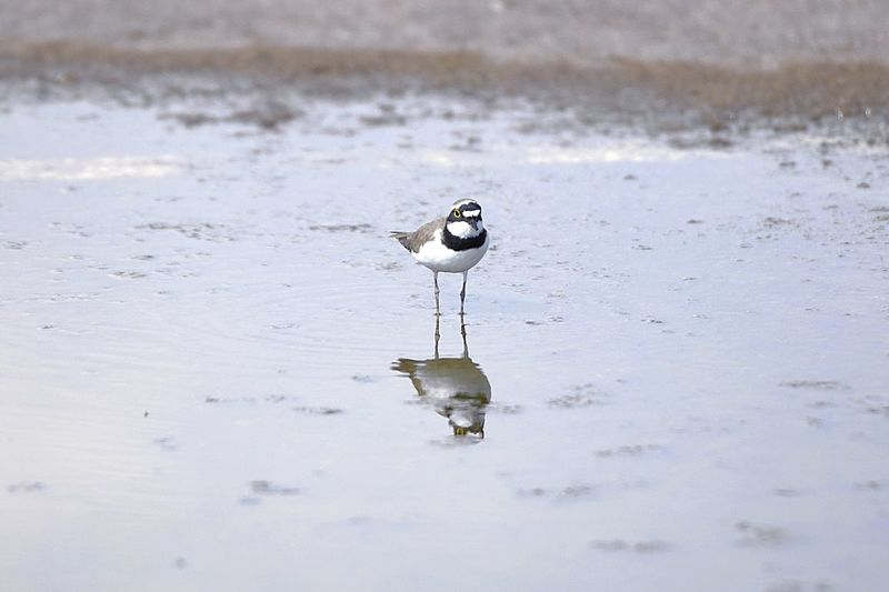 wagtail Wagtail Sochi Russia Wings Bird Photography Outdoor Nature Photography Nature Outdoor Photography Outdoors Water Bird Puddle Lake Standing Water Reflection Side-view Mirror Reflecting Pool