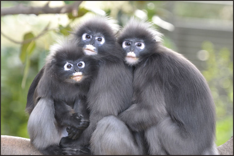 Dusky Leaf Monkey family cuddle on a cold day at Adelaide Zoo, South Australia Adelaide Zoo Adelaide, South Australia Animal Family Cuddles Cute Dusky Leaf Monkey Monkey Face Monkeys Nature Outdoors Portrait Wildlife Young Animal Zoo Zoology