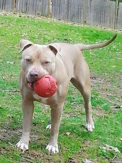 Dog Pets One Animal Domestic Animals Mammal Animal Themes Grass Outdoors Day No People Full Length Pitbull Lives Matter Pitbull♥ PitBullNation Pet Portraits