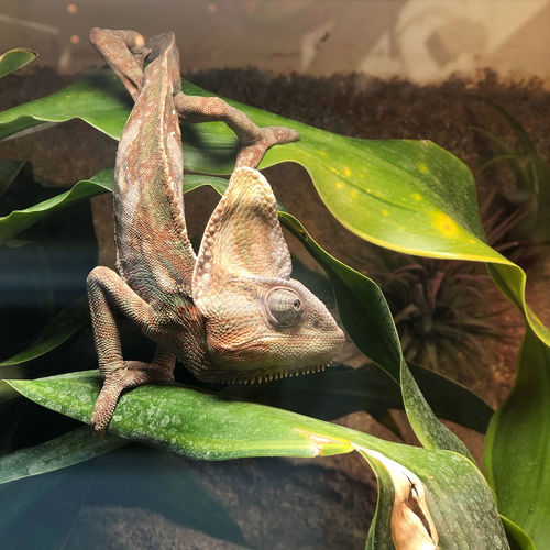 the chameleon