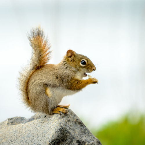 Squirrel on a rock Animal Themes Animal Wildlife Animals In The Wild Close-up Day Eat Focus On Foreground Food Nature No People Nut One Animal Outdoors Squirrel