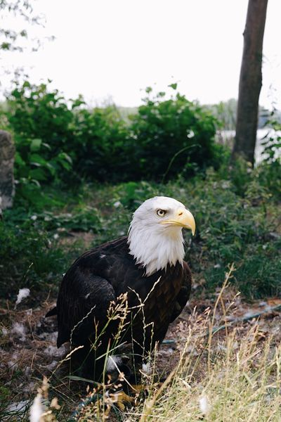 Weißkopfseeadler Weißkopfseeadler American Eagle Bald Eagle Animal Animal Themes Bird Animal Wildlife Bird Of Prey Vertebrate Animals In The Wild