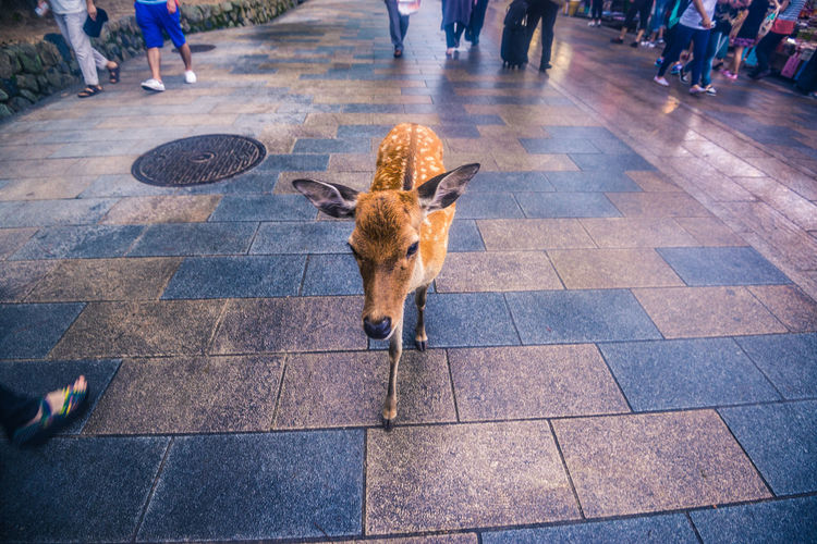 A fawn walking