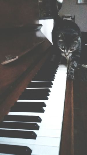 Babycat Playingpiano  Musician Musicianlife Musician Catlovers FunnyMoments  Catoftheday
