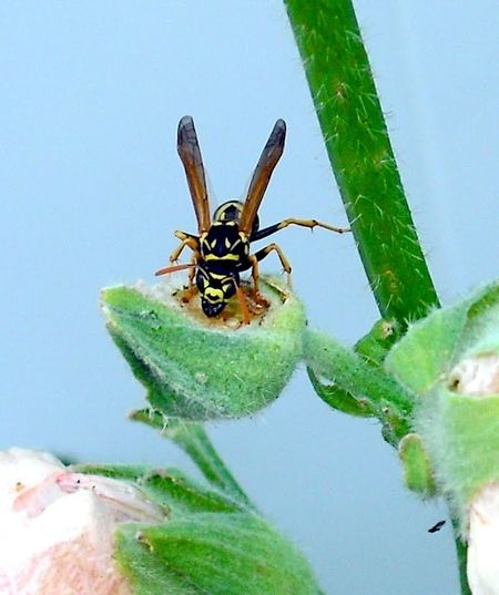 Wasp On Plant Wasp Eating Wasp Black And Yellow Pattern Black And Yellow Insect Insect Collection Flying Insect