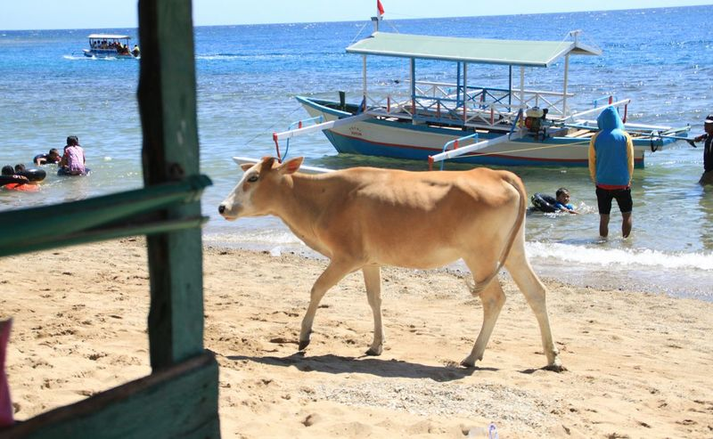 Cow in the beach Life Is A Beach Relaxing Enjoying Life Relaxing