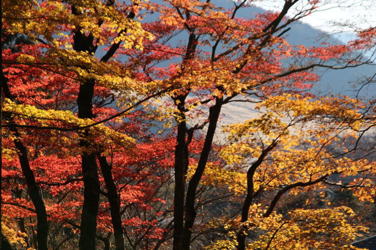 Tree Autumn Beauty In Nature Outdoors Orange Color Fall Autumn Collection Japan