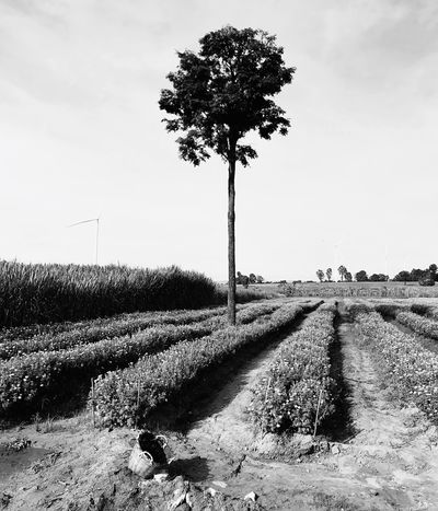 EyeEm Selects Field Agriculture Tree Growth Outdoors Day Rural Scene Tranquility Nature Sky No People Landscape Tranquil Scene Scenics Beauty In Nature Garden Marigolds Flower Calendula Basket Basket Weave Thailand Black And White Friday