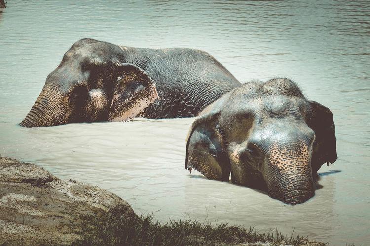Elephant Swimming Animal Animal Themes Animal Wildlife Elephant Elephant Nature Park Elephant ♥ Elephants Nature