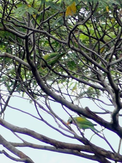 Full Zoom Used Up Camera Sensor Rattling 😁😥 Parrots On Tree Papageien Burung Betet Beauty In Nature Nature Tree Extreme Photography Birds Birds Wildlife Birdstagram Somewhere In The World Somewhere I Remember Somewhere Beyond The Sea Wild Life Photography Wild Life In The City PlacesAroundEarth SomewhereOverTheRainbow Let's Take A Walk Urban Photography Somewhere Outhere Outdoors No People