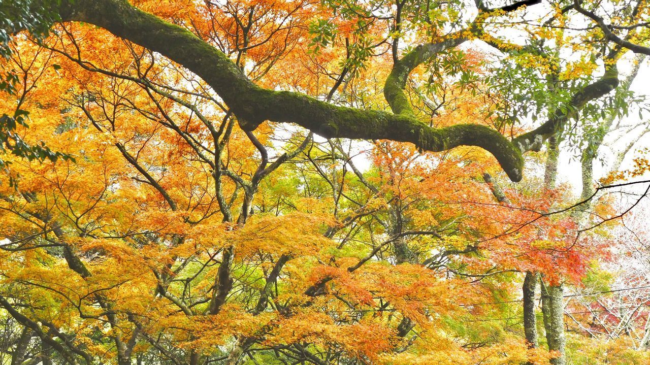 autumn, tree, change, plant, orange color, beauty in nature, branch, tranquility, nature, day, no people, growth, leaf, plant part, low angle view, tranquil scene, scenics - nature, forest, land, outdoors, autumn collection, fall, natural condition